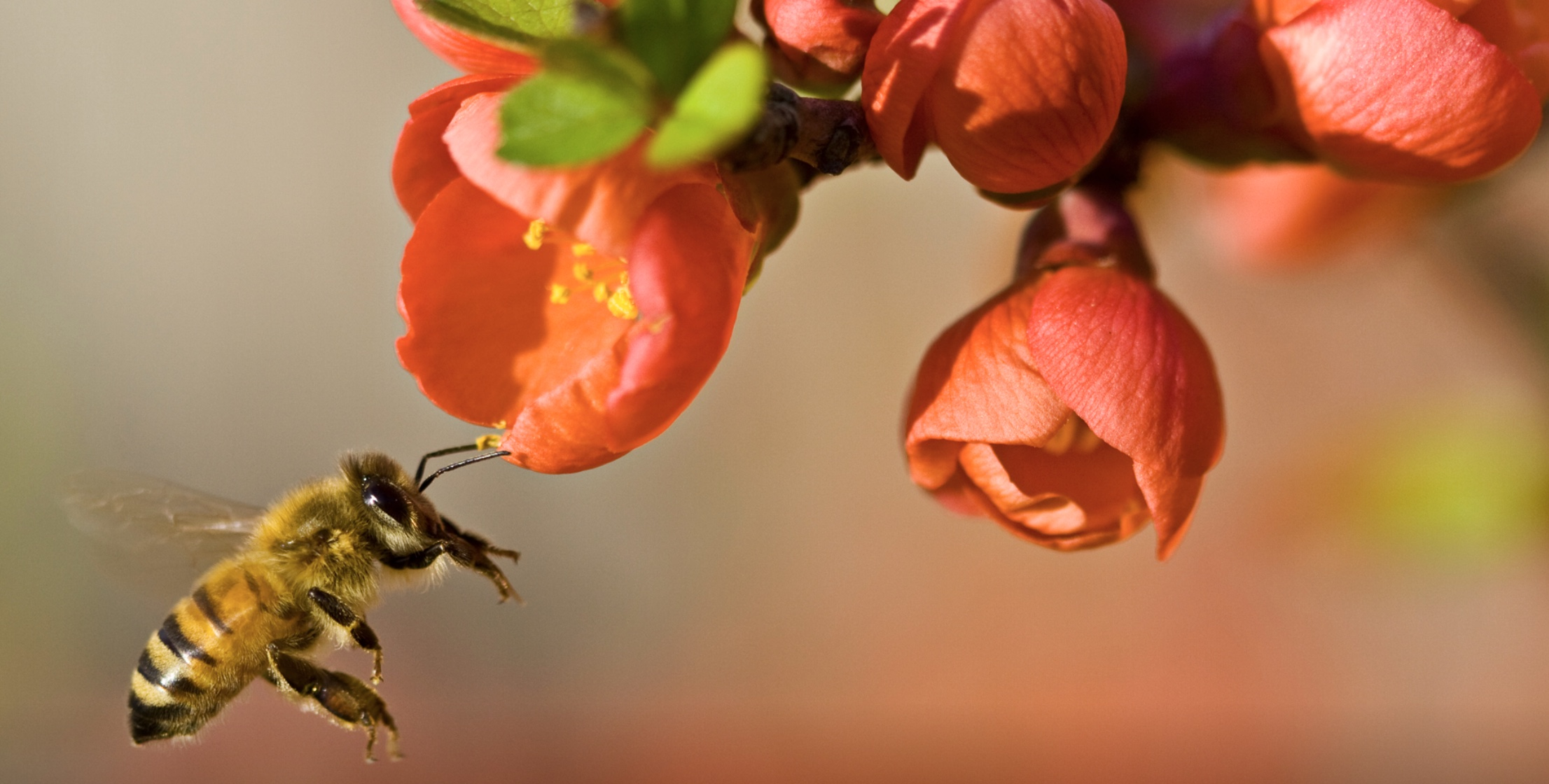 The effects of bees and pollinating insects