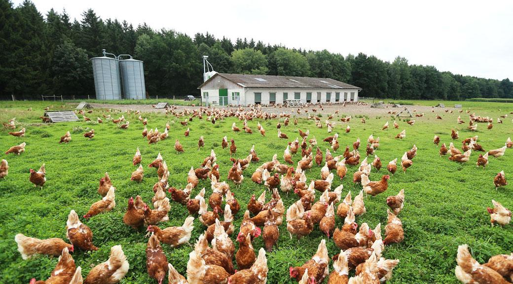 Chicken consumption
