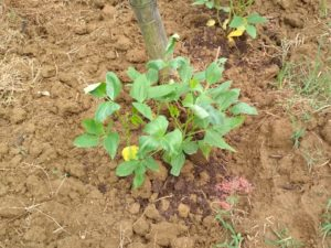 A runner bean plant