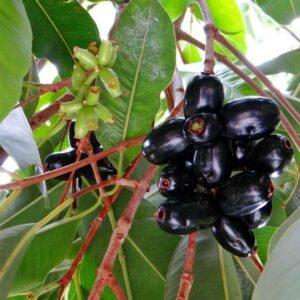 Jamun tree, also known as black plum fruit